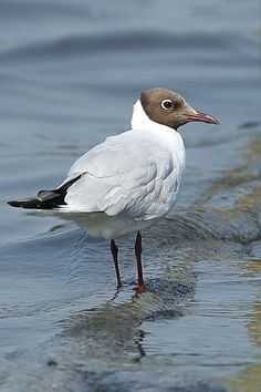 kokmeeuw - Vogels -