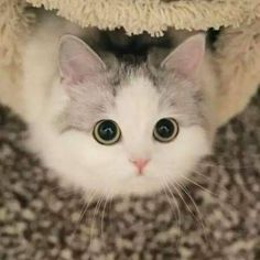 5 Stunning Useful Ideas: Cat Room Spaces russian blue cat gatos. Cute Little Kittens, Cute Baby Cats, Cute Baby Animals, Kittens Cutest, Animals And Pets, Funny Animals, Pretty Cats, Beautiful Cats, Animals Beautiful