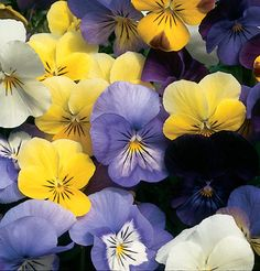 14 Gorgeous Annuals to Grow in the Shade Top Annual Flowers to Grow in the Shade Happy Flowers, All Flowers, Beautiful Flowers, All About Plants, All Plants, Organic Seeds, Grow Organic, Shade Flowers, Shade Plants