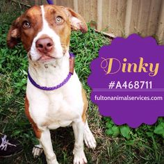 Urgent Animals at Fulton County Animal Services - Atlanta, GA Page Liked · October 3, 2014 · Edited ·    URGENT! PLACEMENT NEEDED BY 7PM TUESDAY 5/19!  ABANDONED AFTER BEING ADOPTED!  DINKY A468711 3 YEARS OLD 40 LBS SPAYED, VACCINATED & MICROCHIPPED!