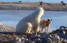 Sled dog killed by polar bear after viral video - YouTube/Brian Ladoon