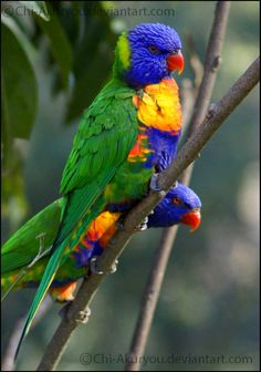 rainbow_lorikeet_by_chi_akuryou-d5zb66e.jpg 800×1,139 pixels