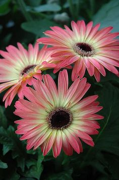 Gerbera Daisy 'Pink and Yellow'.looking like a Blanket Daisy (African) Sunflowers And Daisies, Gerber Daisies, Amazing Flowers, Beautiful Flowers, Flowers Nature, Colorful Flowers, Daisy Love, Zinnias, Carnations