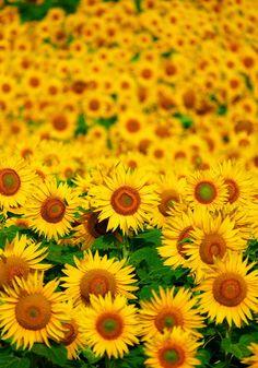 Sunflower Fields in Furano, Hokkaido, Japan 富良野