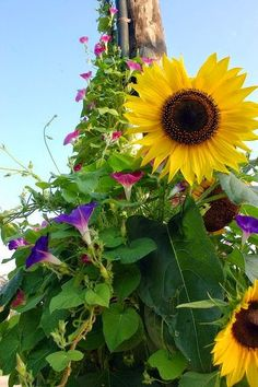 Sunflowers and Morning Glory......east yard. Been thinking about this three years, do it this summer..!!!