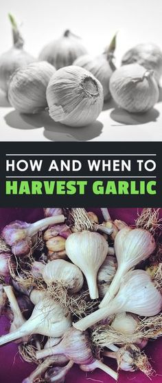 If you have a love affair with garlic like me, learn how and when to harvest garlic to ensure the freshest and best garlic for your cooking. When To Pick Garlic, When To Harvest Garlic, Vegetable Garden For Beginners, Home Vegetable Garden, Gardening For Beginners, Herb Garden, Gardening Tools, Fall Vegetables, Growing Vegetables