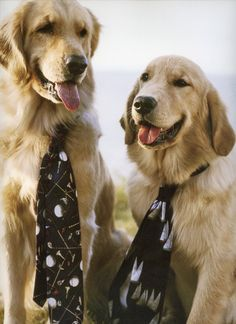How can you not look at golden retrievers and smile?