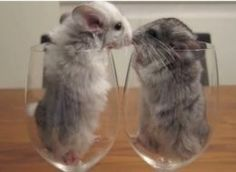 chinchilla on pinterest chinchillas babies and chi chi. Black Bedroom Furniture Sets. Home Design Ideas