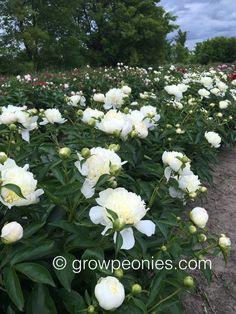 laura-dessert-peony-flower-cluster-bloom.jpg