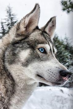 West Siberian Laika by Denis Baklanov on 500px