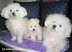 Cindy 2/2012 - Bichon Bolognese / Boloňský psík Bichon Bolognese, Dog Lady, Little Dogs, Animals, Little Puppies, Animales, Animaux, Animal, Animais