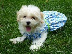 HavaHug Havanese Puppies, is a Michigan based Havanese breeder of quality Chocolate AKC Havanese Dogs. Non-shedding, Hypo-allergenic Puppies. Breeder of the Most Beautiful Chocolate Havanese! Havanese Breeders, Havanese Puppies For Sale, Havanese Dogs, Yorkie Puppy, Cute Puppies, Animal Pictures, Cute Pictures, Daisy Dog, Fluffy Coat