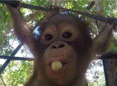 Budi, baby orangutan | International Animal Rescue