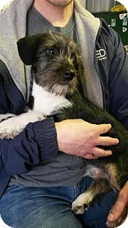 Southern, NH - Shih Tzu/Beagle Mix. Meet Bryce a Puppy for Adoption.