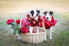 Petey and Missy - adoptable Jack Russell Terriers through Georgia Jack Russell Rescue Atlanta