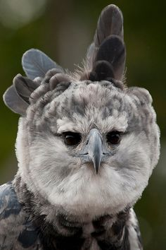 Toruk the harpy eagle….by San Diego Zoo Early South American explorers named these great birds after Harpyja, the predatory half-woman, half-bird monster of Greek mythology. Harpy eagles have excellent vision that allows them to see something less.