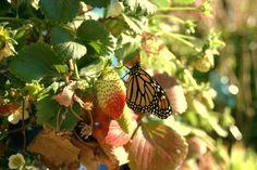 Strawberries. Butterfly lady's garden.