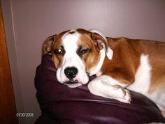 English Bulldog & Jack Russell  The Boz