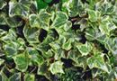 How to Root Ivy Cuttings | Home Guides | SF Gate