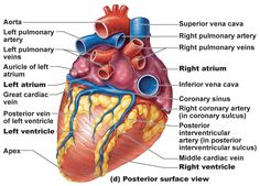 Image: heart anatomy - posterior surface view with labels