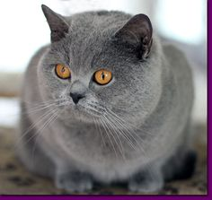 Flame British shorthair bleu est le papa des chatons des Bluebell Cats