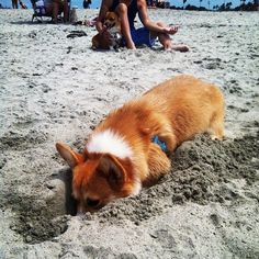#corgi #dog #puppy #animal