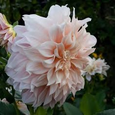 Another stunning flower to be incorporated - 'Diana's Memory' Dahlia
