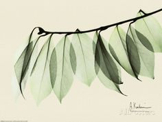 Sage Eucalyptus Leaves I Posters by Albert Koetsier at AllPosters.com