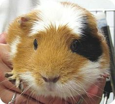 Charlie is an adoptable 4 year old female calico Guinea Pig in Jefferson, WI.