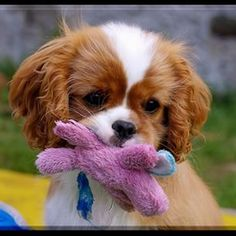This is my special toy, my own little woobie. Cavalier King Charles Dog, King Charles Spaniel, Beautiful Dogs, Animals Beautiful, Cute Baby Animals, Animals And Pets, Cute Puppies, Cute Dogs, Spaniel Puppies