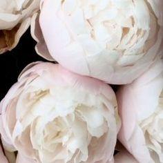 芍薬peony    姿がしなやかで優しいさまを意味する綽約しゃくやくに由来しているという説があります  この花びらのグラデーションをそのまま瞼に乗せることができたのなら 頬や唇を染めれたのならと思います    持つ意味や花言葉などを知るとまた違った心持ちで愛でることができますよね  花言葉Language of flowers  bashfulness恥じらいはにかみcompassion思いやり