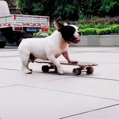 Funny Dog Pictures, Funny Animal Videos, Cute Funny Animals, Funny Dogs, Super Cute Puppies, Cute Baby Dogs, I Love Dogs, Dachshund Puppies, Skateboard