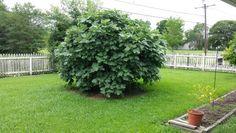 My fig tree .