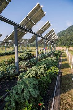 Beneath Solar Panels, the Seeds of Opportunity Sprout Solar Energy Panels, Solar Panels, Eco Energie, Agricultural Practices, Solar Projects, Solar Installation, Hydroponics System, Urban Farming, Alternative Energy