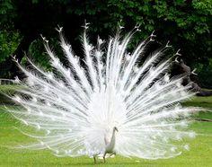 sri lanka monaraa peacock almanac portal