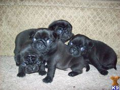Adorable Black Pug Puppies - Pug Puppies for Sale