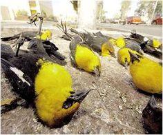 http://elgranenganyo.com/misteriosas-muertes-masivas-de-animales-en-todo-el-mundo/
