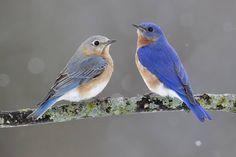 New Blue Bird Photography God Ideas Missouri Birds, Blue Bird Art, Bird Sketch, Tiny Bird, Bird Silhouette, Backyard Birds, Bird Drawings, Bird Pictures, Cute Birds