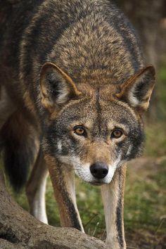 Red Wolf Stalking