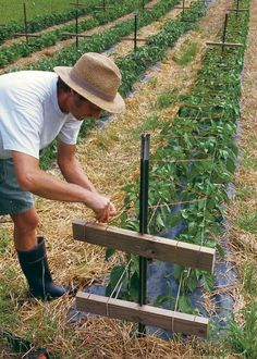 How to grow bell peppers —two-level trellis to support pepper plants. . .