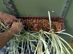 Detalhe do plantio das mudas do Mamute!