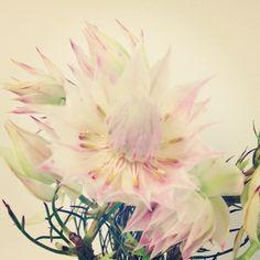pretty petals – blushing bride protea