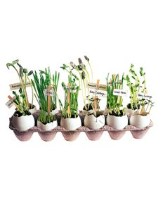 Young gardeners can use eggshells as pots to start seeds and coffee-stirrer tags to foretell what will pop up where. Plant seeds according to package instructions, and nestle planters in an egg carton on a sunny windowsill, where they can be watered easily. The first leaves to sprout will be the cotyledons or seed leaves, which supply nutrients to the young plant until the first true leaves (resembling those of the parent plant) appear. When plants have grown to about 3 inches and have at…