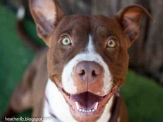 Ruby is a beautiful Pit Bull Terrier Mix up for adoption in Tucson, AZ! She is available through Pima Animal Care Center! Check out her page for more details!