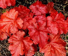 'Fire Alarm' Coralbells - have little white flowers.  Grow with hostas