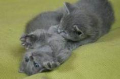 Azadeh Nebelung Nebelung Cat, Friesian Horse, Cat Breeds, Kitten, Death, Horses, Animals, Cute Kittens, Cat