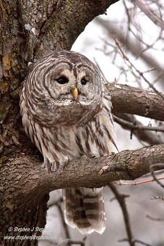 ~~Who's Who! - Barred Owl by Stephen Stephen~~