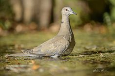 Eurasian Collared Dove by efcephoto. @go4fotos