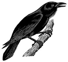 crow illustration - Google Search