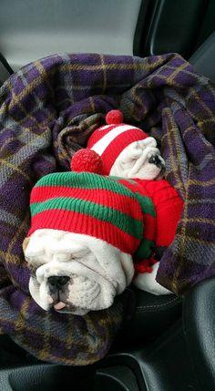 A winter's Christmas nap! Bulldog Puppies, Cute Puppies, Cute Dogs, Dogs And Puppies, Funny Dogs, Doggies, Animal Wallpaper, Emoji Wallpaper, Colorful Wallpaper